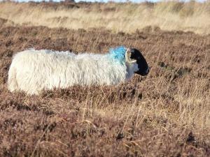 sheep-193821_1280